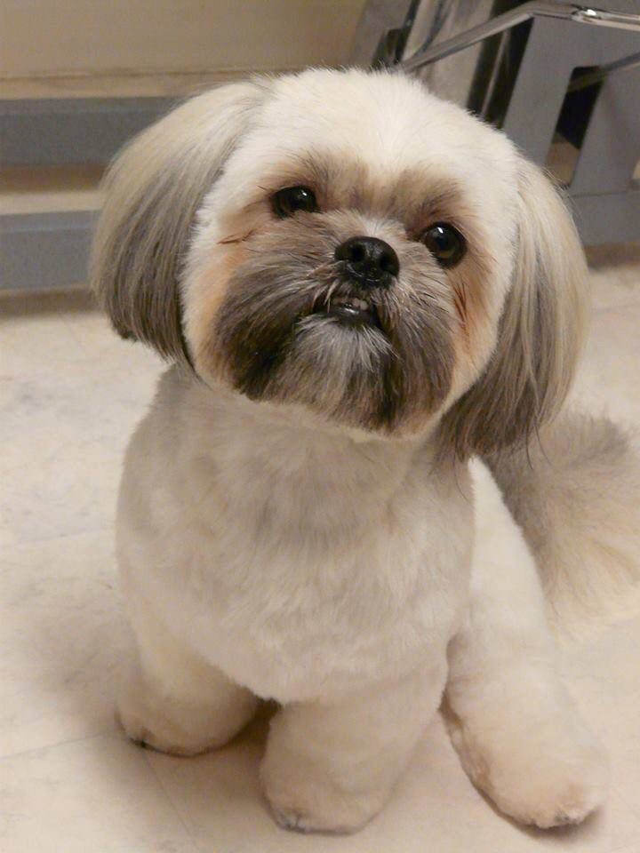 What Is The Perfect Dog For Small Living Spaces Shih Tzu Puppy