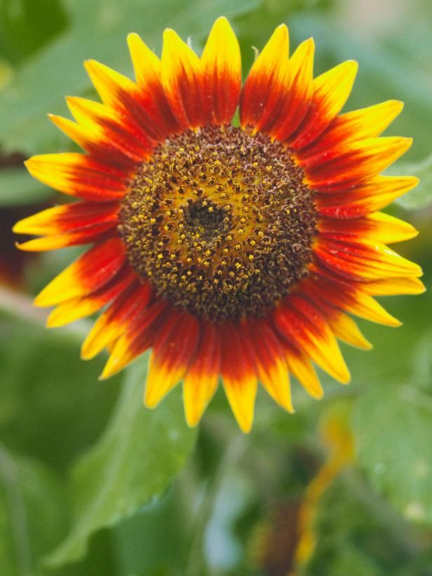Sunflower Meaning And Symbolism Planting Sunflowers