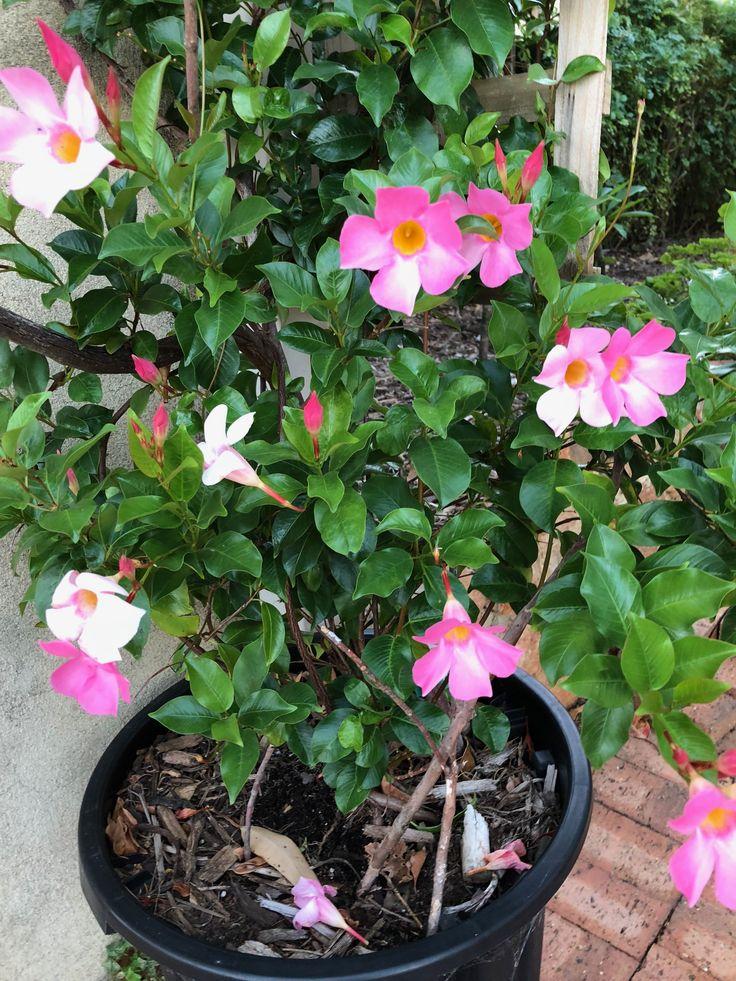 Mandevilla sanderi - Brazilian Jasmine #Flowering #Perth #January