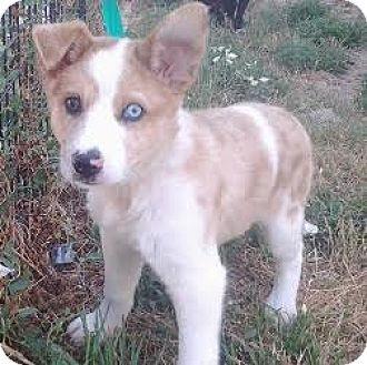 Denver, CO - Australian Shepherd Mix. Meet Belle, a dog for adoption. http://www.adoptapet.com/pet/18586311-denver-colorado-australian-shepherd-mix