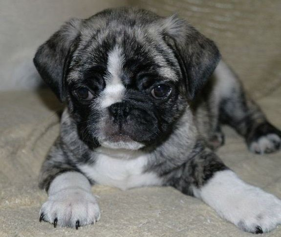 10 Unreal Pug Cross Breeds You Have To See To Believe