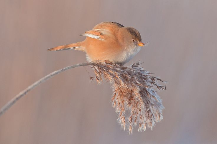 Bearded tit: Nice Soft, Female Bearded, Creation Calls, Gods Creatures, Baardmannetje Vrouw, Photo, Birds