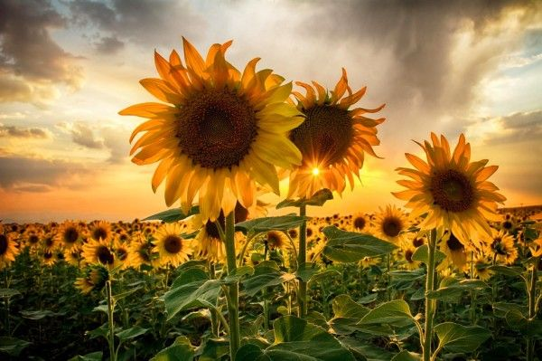 31 Sunny Pictures of Sunflower
