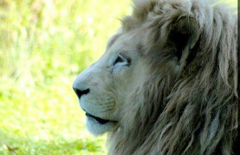 Lion blanc @ parc des félins.