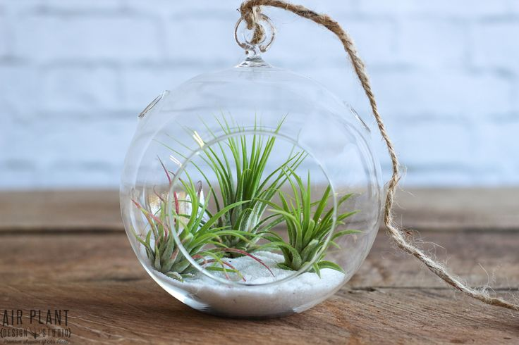 "Our ""DIY"" Classic Air Plant Terrarium showcases some of our most popular air plants. This striking yet simple terrarium kit comes with 3 tillandsias (air plants), one glass globe, white sand, and hemp"