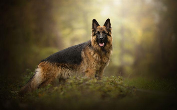 Hämta bilder Schäfer, Hund, Skogen, Jakt Hundar, Husdjur