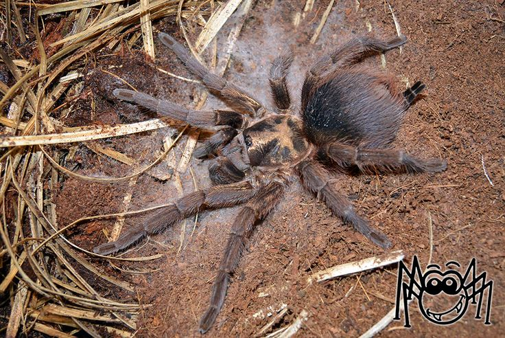 How to Repel Black Widows and Northern Recluse Spiders
