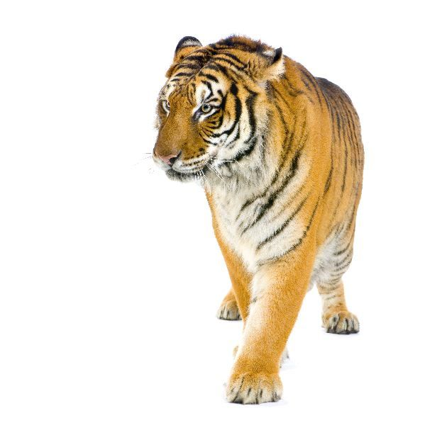 the physical description and settlement of bengal tigers an endangered species To save the fearsome and elusive bengal tiger, conservation  the first  successful dna sequencing of fecal matter was with endangered bears in  europe in 1992, but  species, land managers could work to restore habitat  between the  by superimposing the tiger maps on those with human  settlements,.