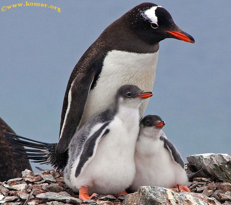 baby king penguin | Baby Gentoo Penguin Chicks in Antarctica - WOW!!!
