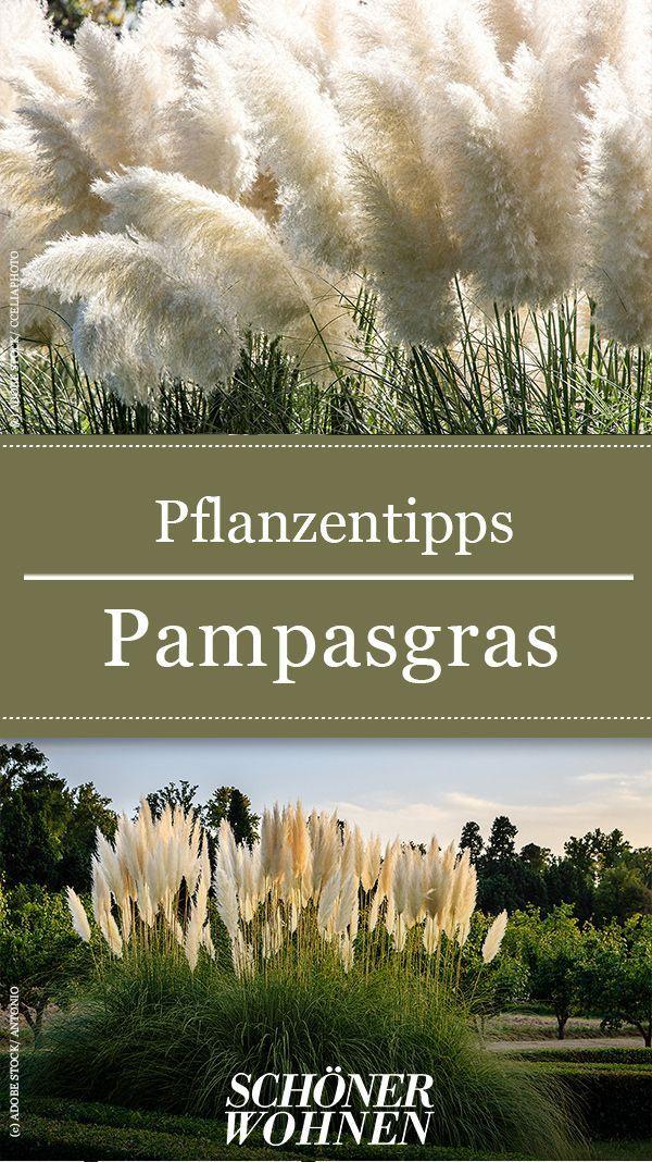 Pampasgras Pflanzen Pflegen Schneiden Buschige Schonheit Pflanzen Garten Gardening Pampasgras Pflanzentipps The Pos Pampas Grass Balcony Plants Plants