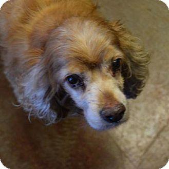 Cocker Spaniel Mix Dog for adoption in Denver, Colorado - Georgina