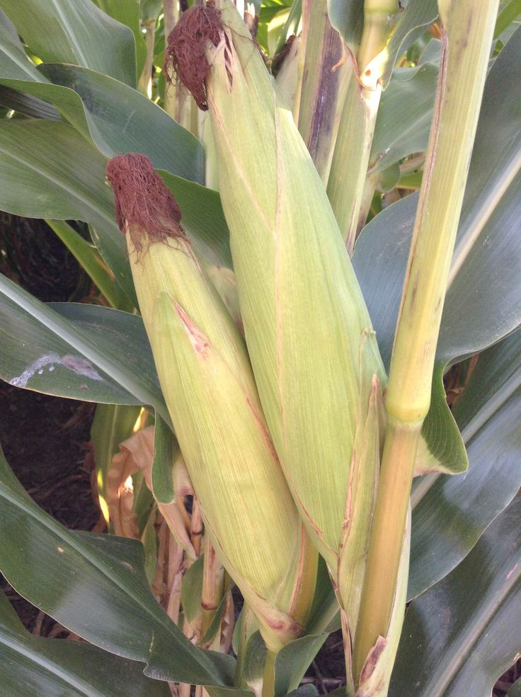 The ears of corn are starting to mature and dry out, this means harvest is starting to approach. Photo taken September 2, 2013