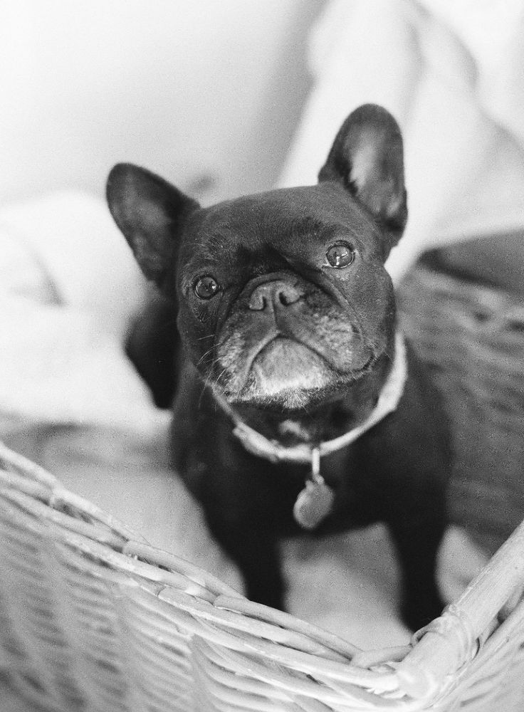 french bulldog c section best 25 grey french bulldog ideas on pinterest blue 5369
