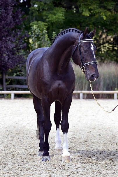 Stunning black horse. Judgement ISF (Consul/Akteur/Lucky Boy xx) KWPN…