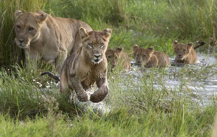 A male lion cub in a playful mood on Duba Plains in the Okavango Delta in Botswana.