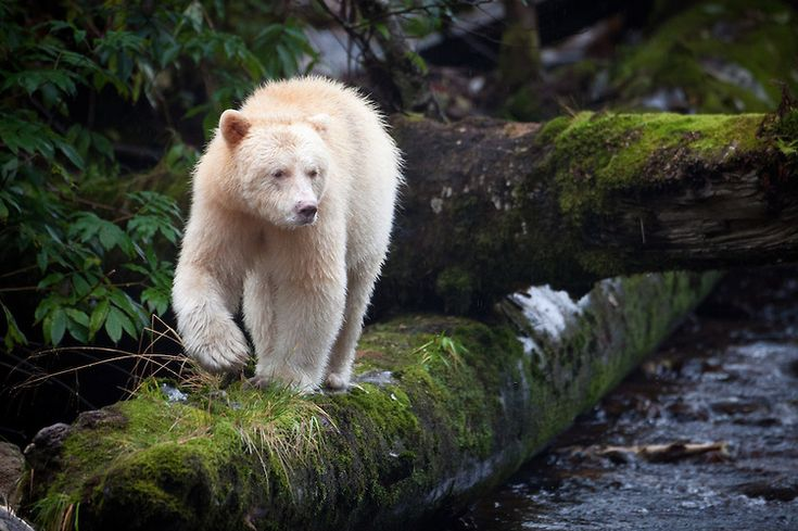 The great bear rainforest in BC is one of the largest coastal temperate rain forests in the world, home to white furred black bears. Neither albino nor polar bear, these rare black bears (there are fewer than five hundred) are known as kermode bears, or what the gitga'at first nation call mooksgm'ol, the spirit bear. It remains taboo to hunt a spirit bear, or to mention them to outsiders. Photography: Paul Nicklen | Fabrice Simon | Paul Burwell
