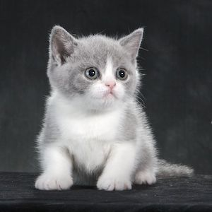 British Shorthair Kittens For Sale In California