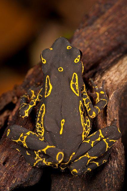 Hoogmoed Arlequín sapo - Atelopus hoogmoedi sapos arlequín neotropicales, género Atelopus (Bufonidae), comprenden un grupo de más de 100 especies, de lento movimiento diurno, que se agregan a lo largo de corrientes