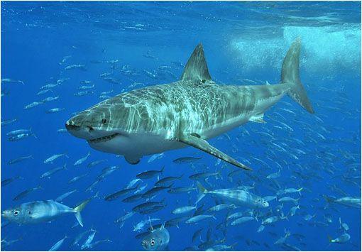 El Tiburón Blanco (Carcharodon Carcharias) | El Tiburón blanco, el gran depredador marino, es en la actualidad un animal en peligro de extinción. Es una de las especies que menos ha evolucionado desde la prehistoria