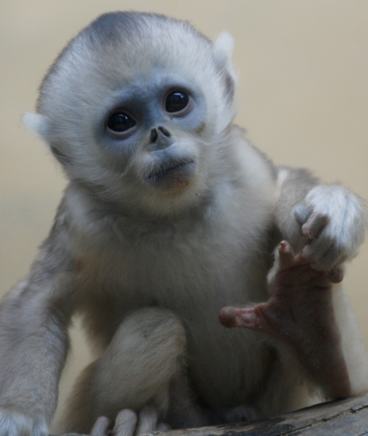 Golden monkey baby @ everland.korea