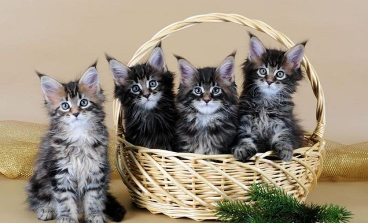 Maine Coon Kittens For Sale - Kittens. Look on site to purchase.