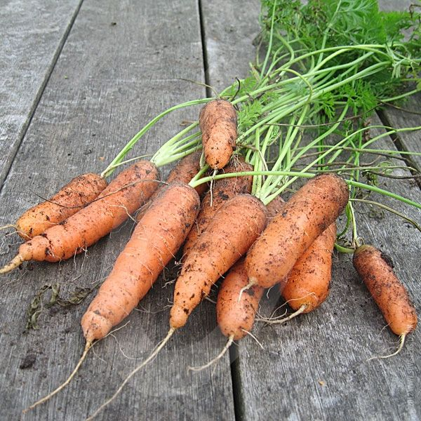 Carrots are one of the best tasting veg to pick fresh from your garden. Carrot Early Nantes 2 will not disappoint as it has a lovely sweet flavour with very little core and is a blunt end variety that can reach a length of 15cm. It is a 2nd early/maincrop variety