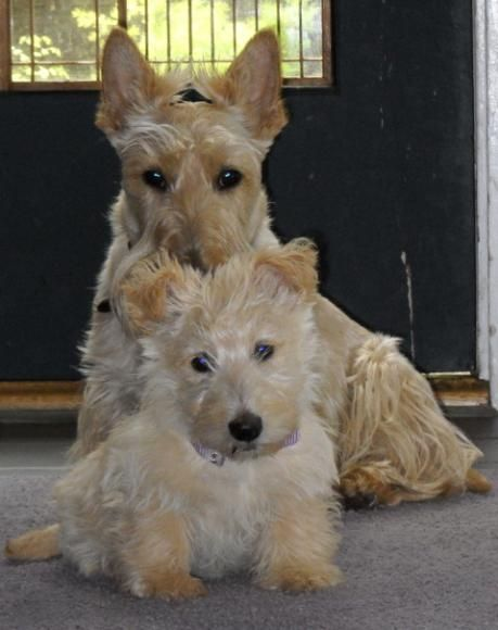 Our Puppy Pictures Scottish Terriers Idahoscotties Dogs And Puppies Terrier