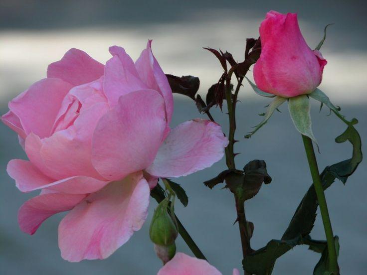 imagens de flores lindas para papel de parede - Pesquisa ...