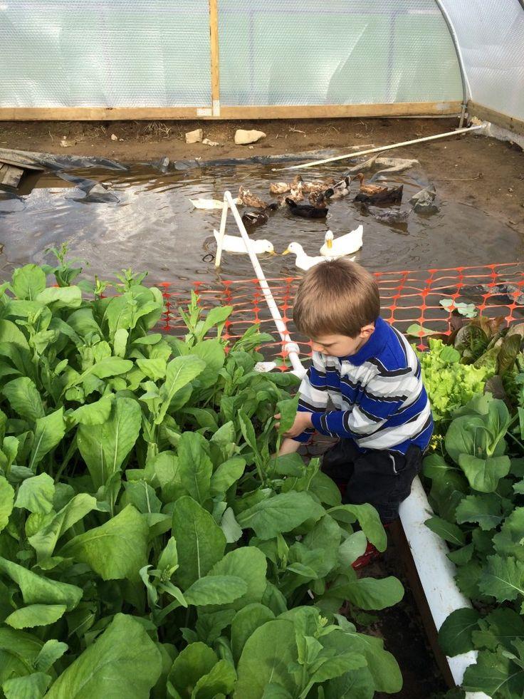Incredible Veggies with Duckponics | Creative Living & Growing with Bren