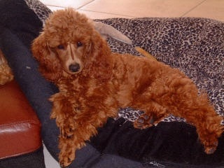 Beautiful Miniature toy Poodles from Marsi Shore!  Top quality, pure bred poodles. www.minipoodles.com