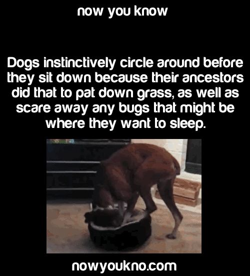 nicoleartist:  average-reblog:  nowyoukno:    Source for more facts follow NowYouKno     Okay, now explain why my dog has to do six laps around the yard before taking a shit?  My dog does the same thing! And then sometimes they dont even go!