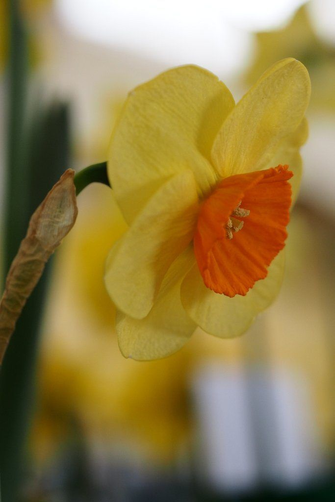 Narcissus 'Zimplats' is a small cupped daffodil cultivar, from Division Three of the Royal Horticultural Society's Daffodil Classification System.
