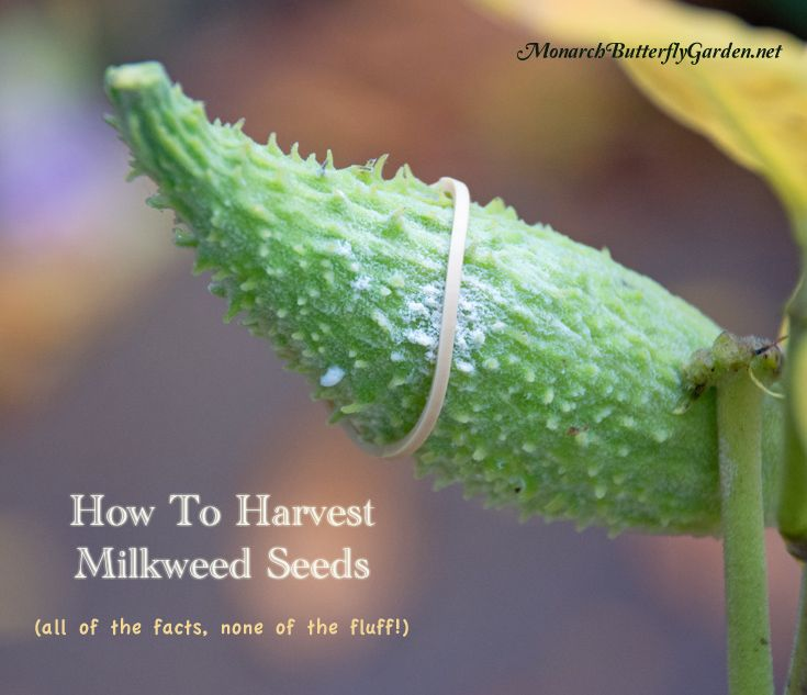 Fall is here and the time has come to harvest milkweed seeds from mature milkweed pods. But how do you separate seeds from the messy white fluff? By doing..