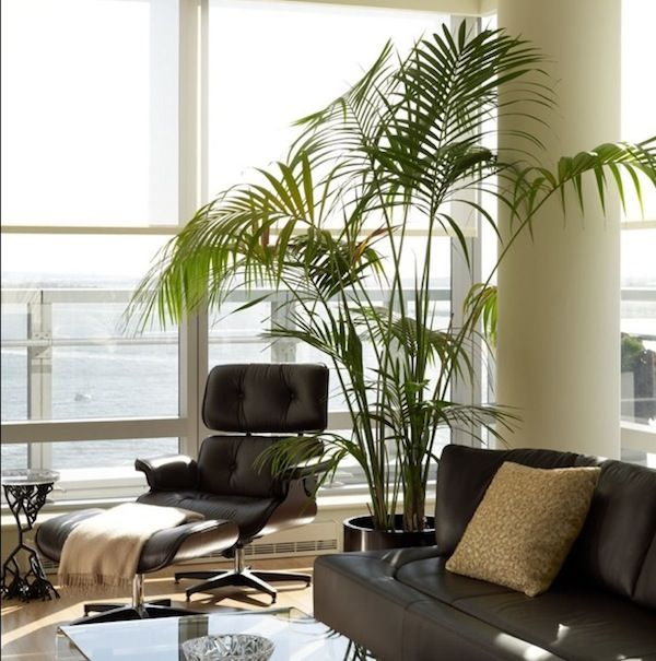 the best indoor palms are kentia palm howea forsteriana sentry palm howea belmoreana lady palm rhapis excelsa and parlor palm chamaedorea elegans