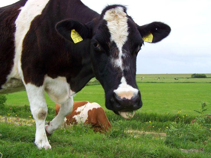 Am Deich zwischen Neßmersiel und Dornumersiel findet man häufig Kühe am Deich.