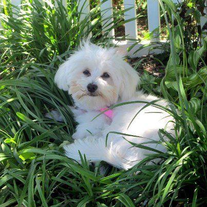 sweet little cream puppy