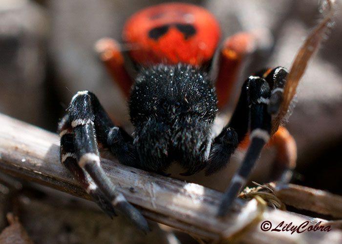 LilyCobra's Wonder Spiders -