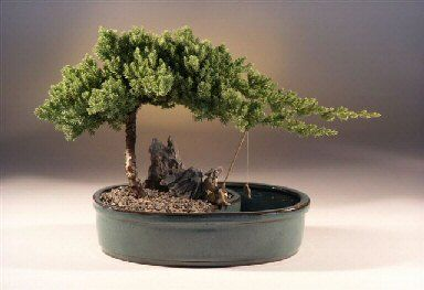 """This dwarf Juniper from Japan is the most popular evergreen in the U.S. When we think of a traditional bonsai and what it should look like, we think of a Juniper Procumbens """"Nana"""". This impressive trouble-free evergreen is an excellent tree for the beginner. Our tree features a Juniper planting on one side of the pot and on the other side of the planting is a well that holds water. We include a ceramic fisherman figurine along with a fishing pole, line and ceramic fish. As shown."""