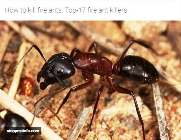 17 best ideas about fire ants on pinterest homemade ant killer clean washer vinegar and. Black Bedroom Furniture Sets. Home Design Ideas