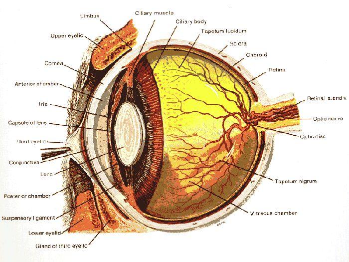 pin by andi t on eyes eye anatomy anatomy eyes. Black Bedroom Furniture Sets. Home Design Ideas