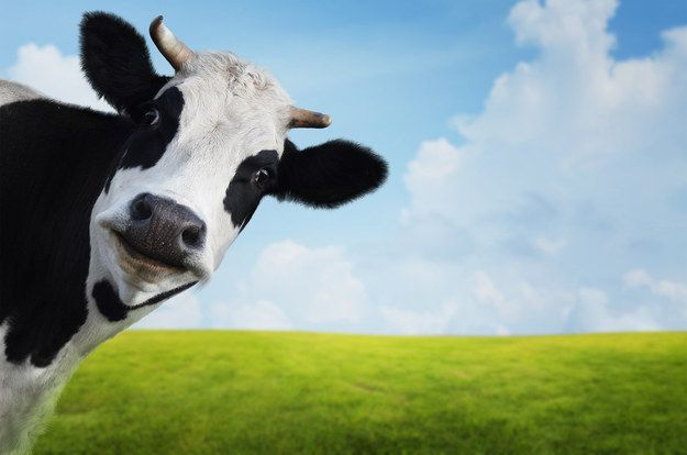 This cow who photobombed a landscape: | 14 Cows That Are Too Cute To Handle