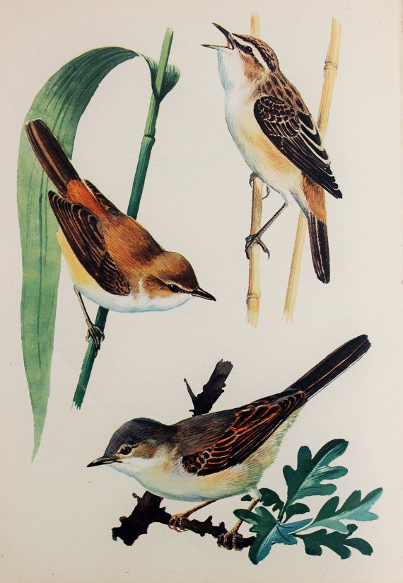 Sedge warbler, reed warbler and whitethroat by Charles Tunnicliffe