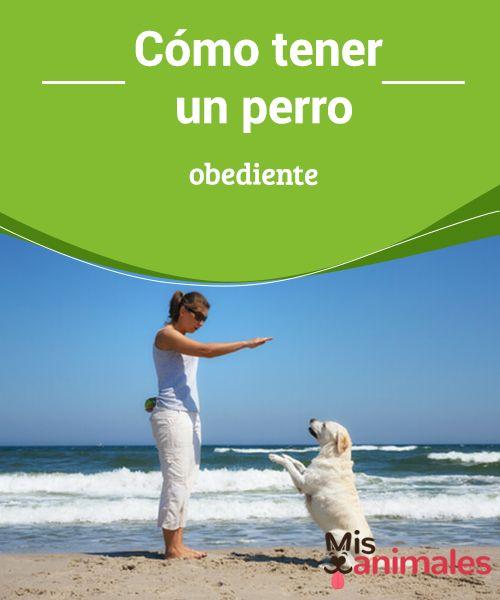 Cómo tener un #perro #obediente El #comportamiento de tu #perro depende de varios factores: su #herencia genética, la educación que se le imparte y las experiencias adquiridas, sobre todo cuando es cachorrito.