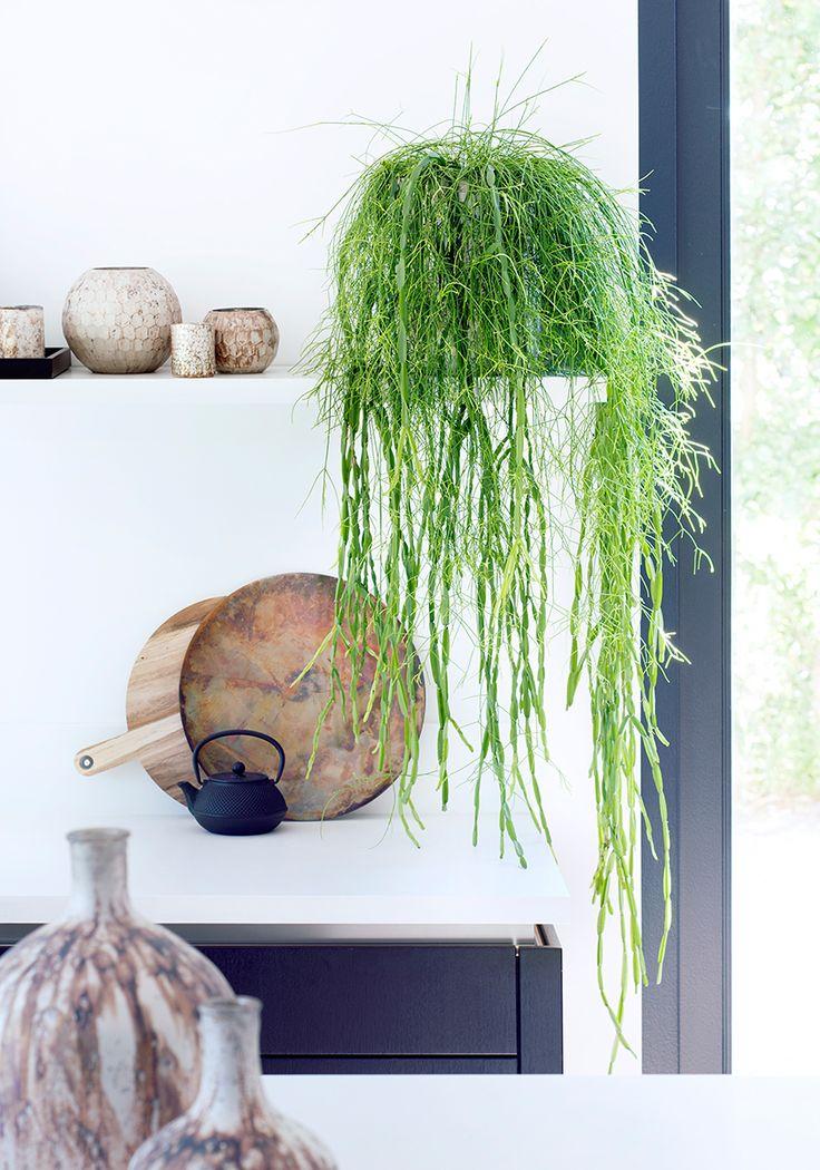 Hoya Linearis, een hangplant. Hier op een plank in modern interieur.