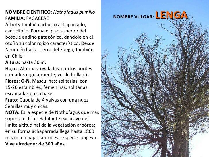 NOMBRE CIENTIFICO:   Nothofagus pumilio  FAMILIA:  FAGACEAE  Árbol y también arbusto achaparrado, caducifolio. Forma el pi...