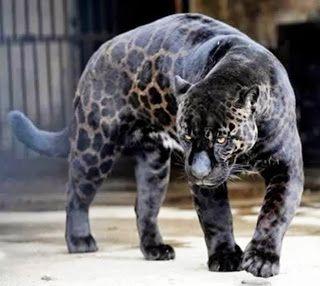 Most Amazing Melanistic Animals