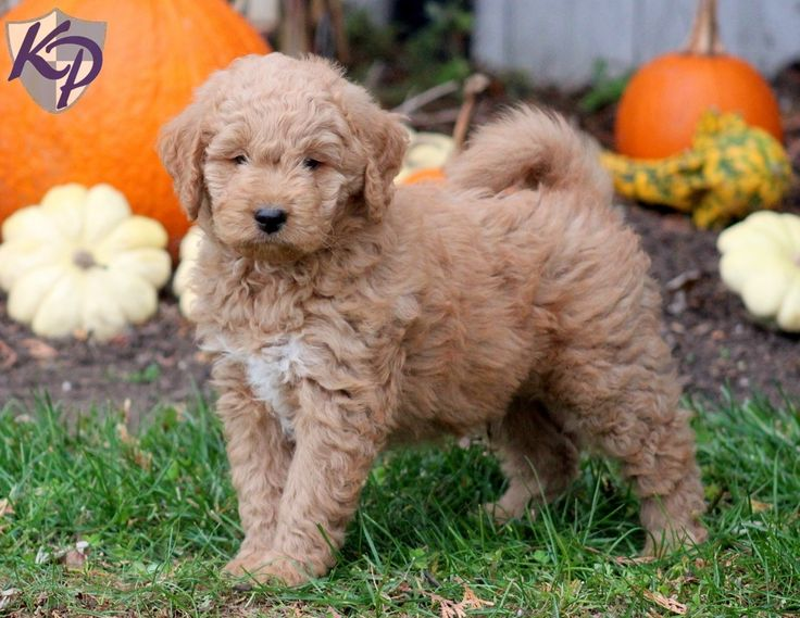 Goldendoodle – Miniature Puppies For Sale in PA
