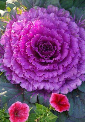 purple cabbage-saw this the first time last year in VT, and fell in love.