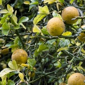 http://www.rustica.fr/ - Les agrumes : fiche de culture - Le poincirus