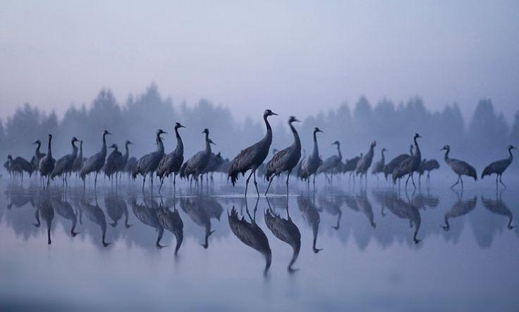 """""""Cranes at dawn"""" Jouni Suikkanen: Aamuyön kurjet"""